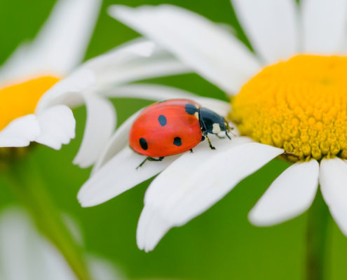 Lesson of the Ladybug: Be an Overcomer!